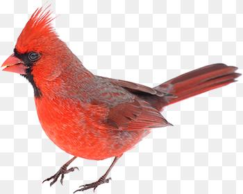 Cardinal Bird Png Coexisting With Birds City Of Guelph 350 280 Png Download Free Transparent Background Cardinal Bird Png P Bird City Cardinal Birds Bird