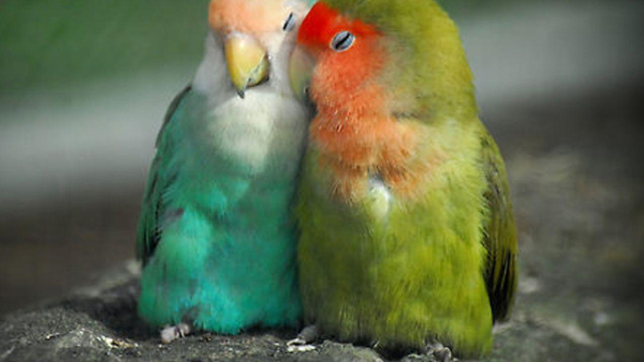 طيور الحب وتربيتها Best Pet Birds Love Birds Parrot