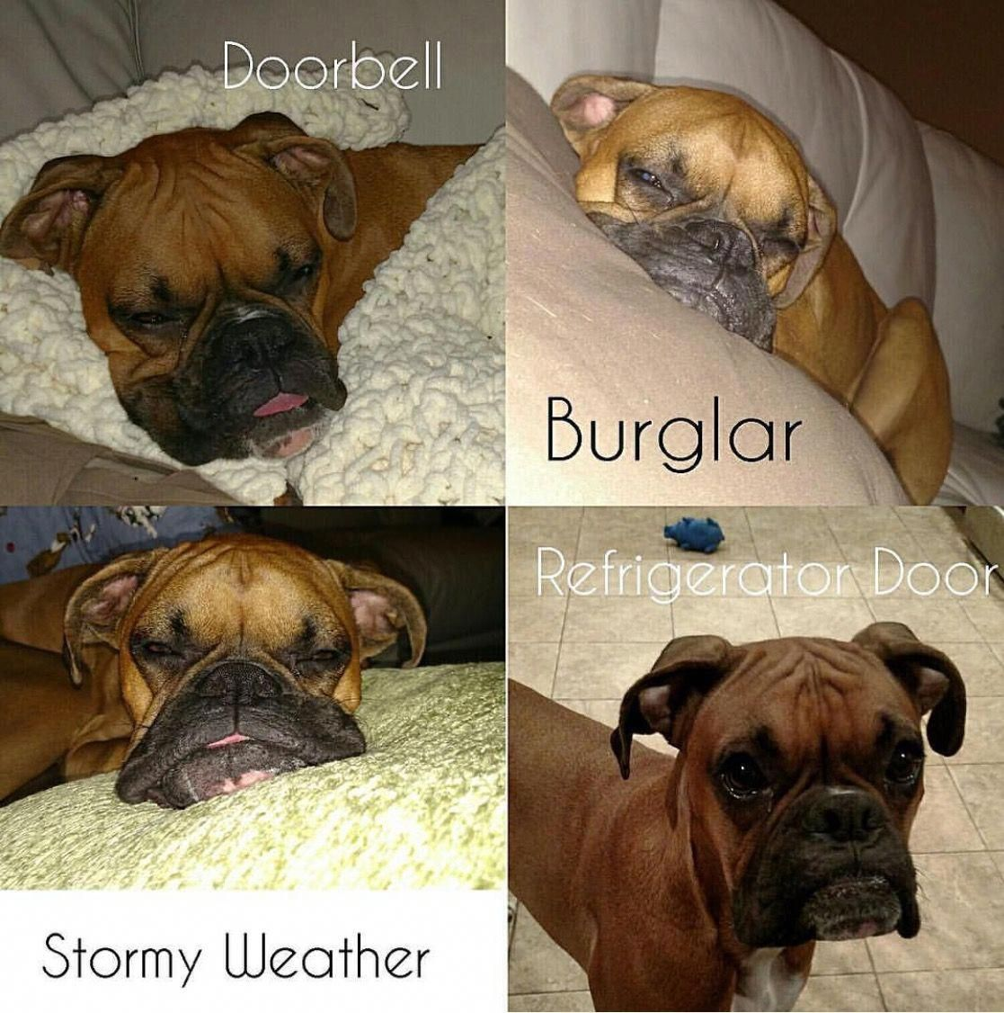 Boxer dogs training boxer dogs funny funny boxer boxer