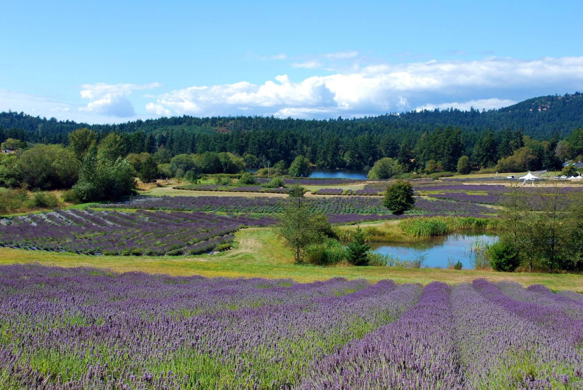Pelindaba Lavender Farm Friday Harbor Wa Hours Address