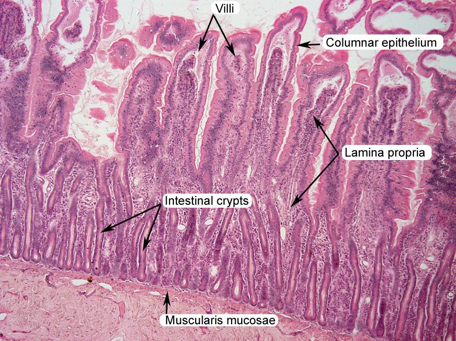 Small Intestine Histology Labeled Lab Practical Pics Pinterest