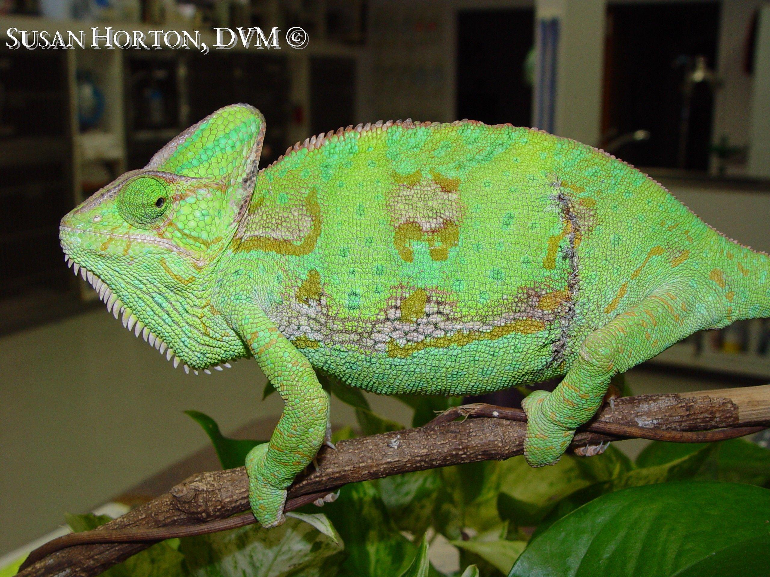 Veiled chameleon | Veiled Chameleon Care | Pet health | Pinterest ...