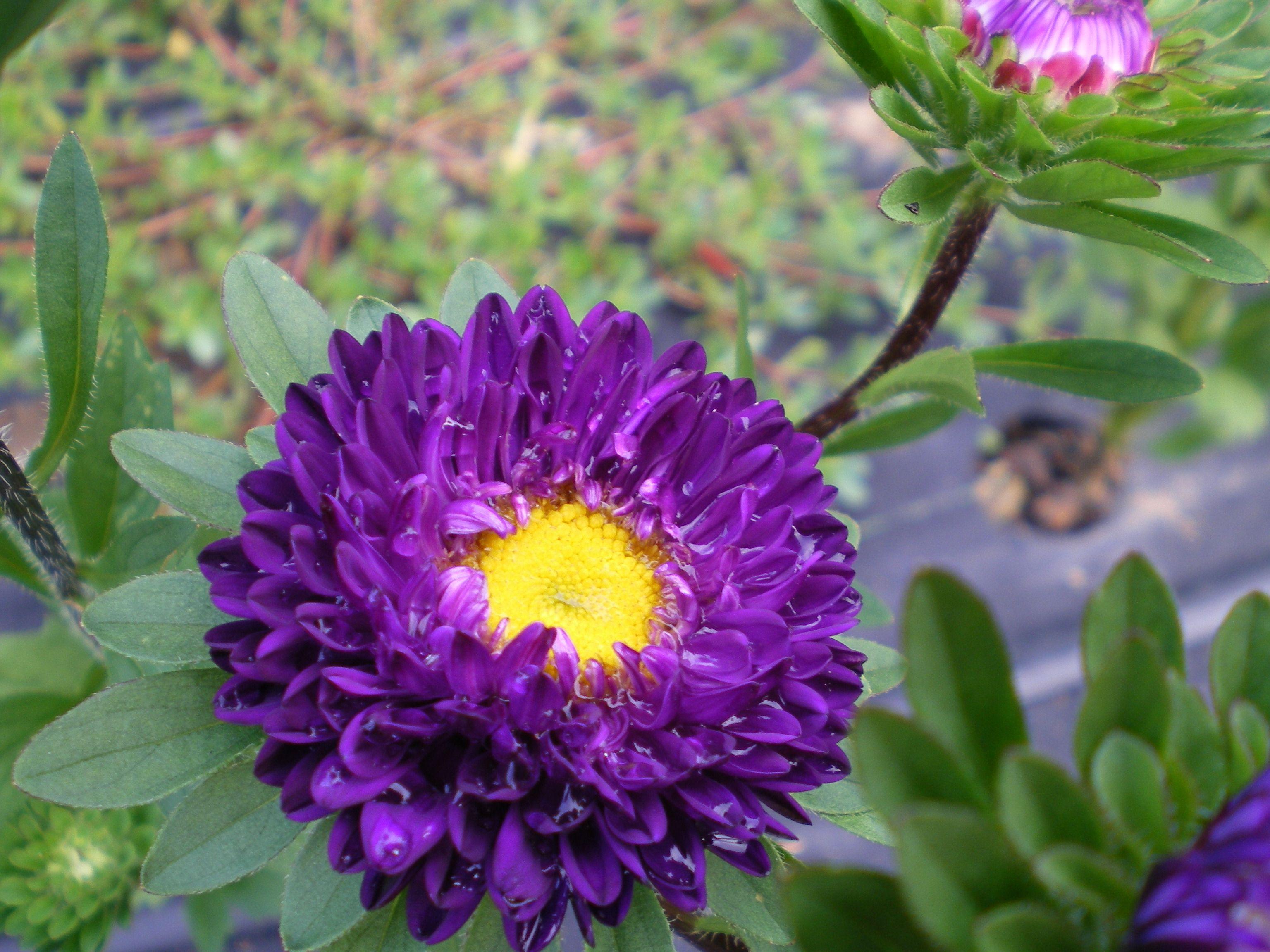 Purple Aster China Aster Flower Farm Beautiful Flowers Purple Floral