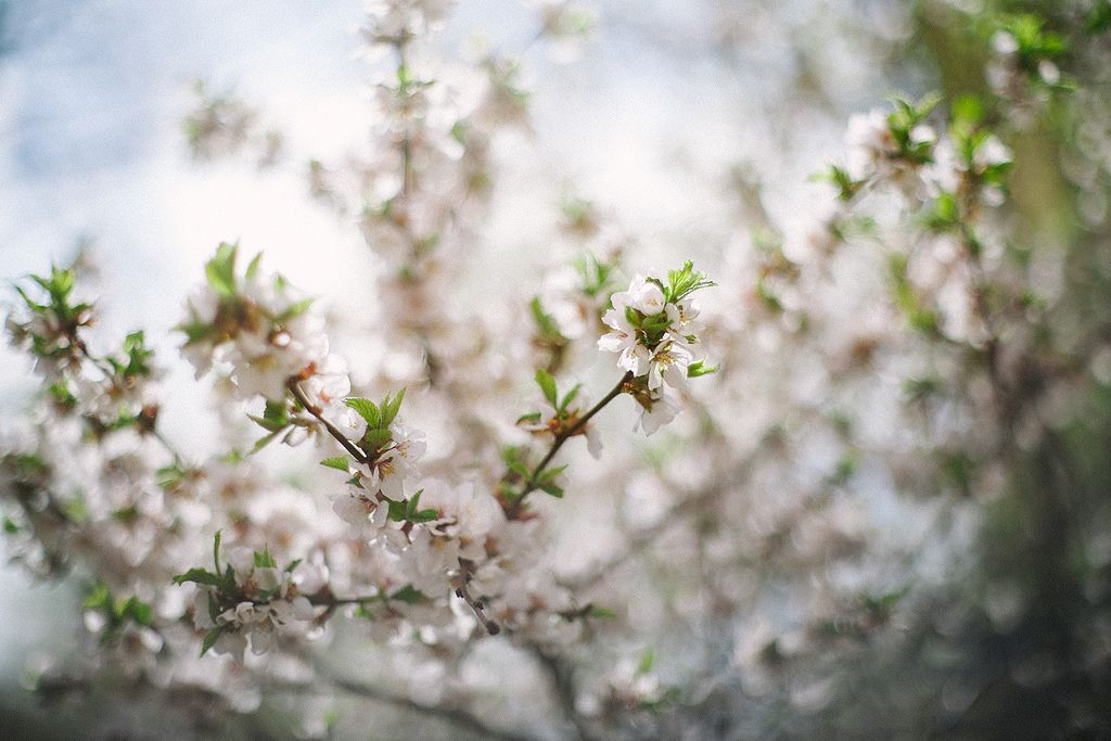 Untitled | Yashinon-DX 50mm 1.7 #blossom #spring