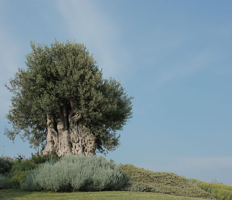 Olea europaea 2810 - Category:Quality images of Cyprus - Wikimedia Commons