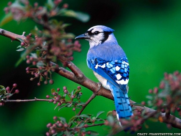 ANOTHER BRIGHT BLUEBIRD OF HAPPINESS.....ccp