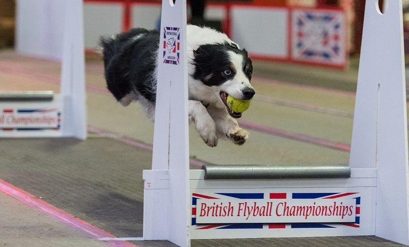 A Border Collie S Journey To Flyball Sasha S Story Border