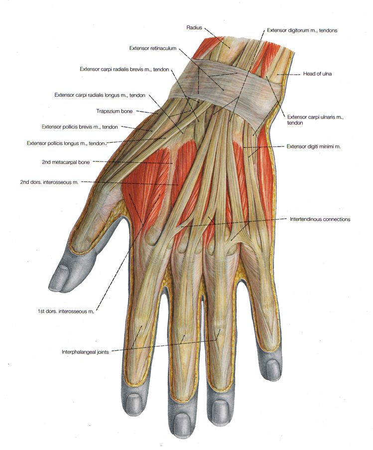 Muscles Of The Arm And The Hand Anatomical Plates Muscle Anatomy Arm Muscle Anatomy Muscle