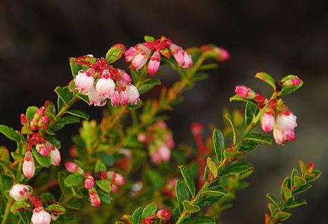 Wild Blueberries Vaccinium Species Attract Butterflies