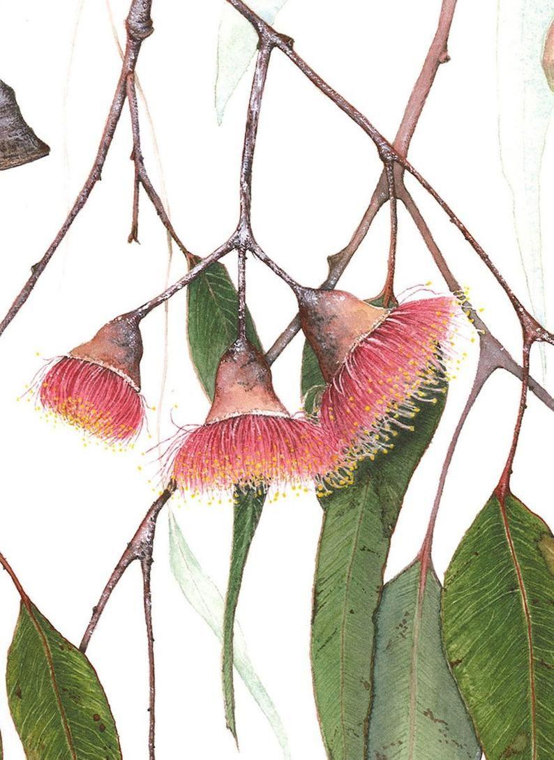 Fine Art Card Eucalyptus Caesia Silver Princess Etsy In 2020 Fine Art Card Flower Drawing Flower Art