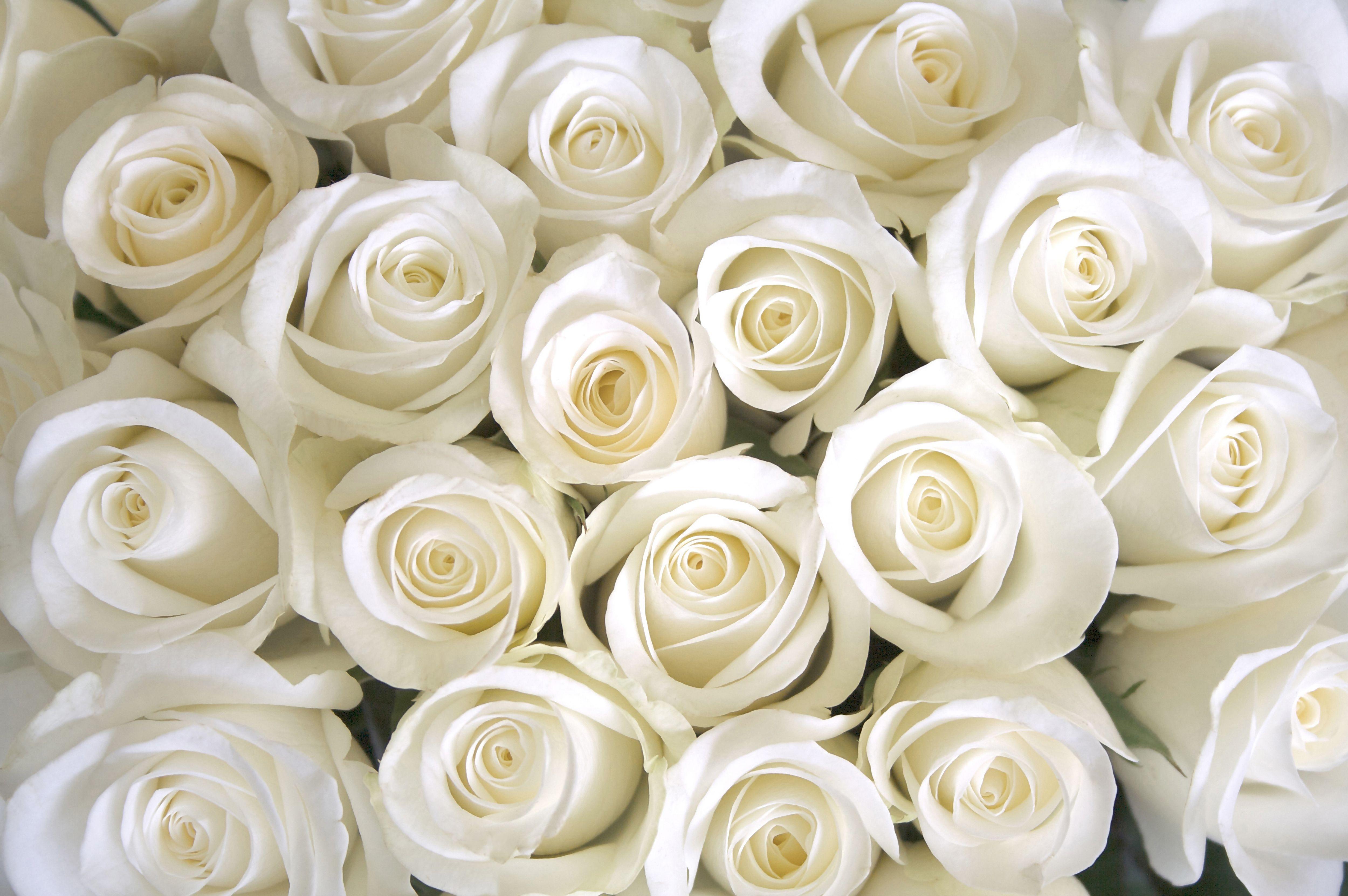 White Roses Background flower in 2019