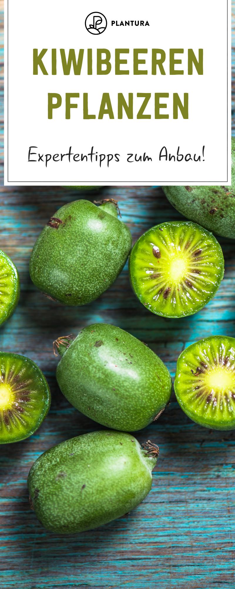 Kiwibeeren pflanzen: Tipps zum Anbau der Mini-Kiwi