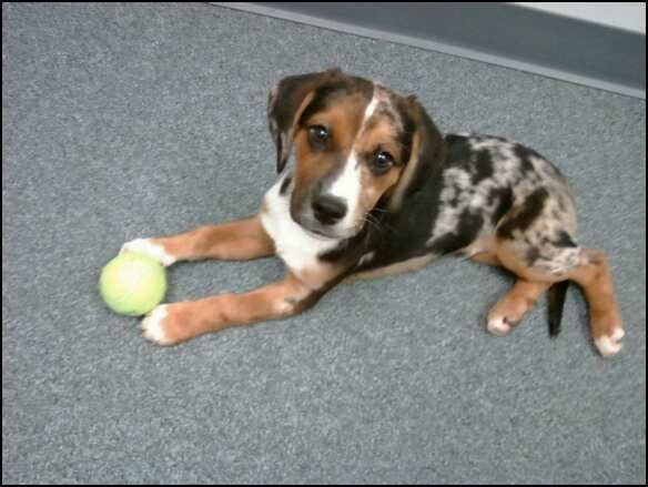 Snickers   My Catahoula/Beagle Mix    love him!!! | awww