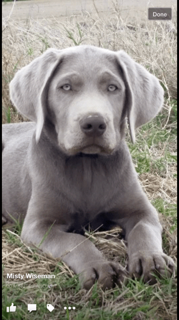 Popular For Their Trainability And Delighted Dispositions The Golden And Labrador Retrievers Are The Choice Pet For Lots Of American Hunting Dogs Silve