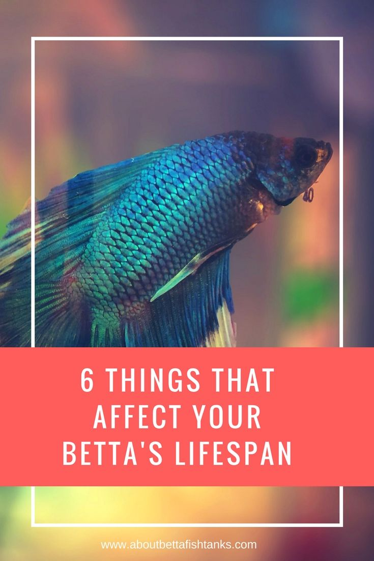 Bettas Lifespan - Discover The Top 5 Things That Affect It!   Betta ...