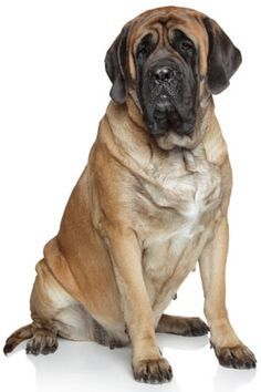 Mastiff Information, Facts, Pictures, Training and Grooming