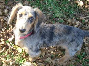 Bennie Dachshund Dog Rutledge Tn Such A Beautiful Dachshund