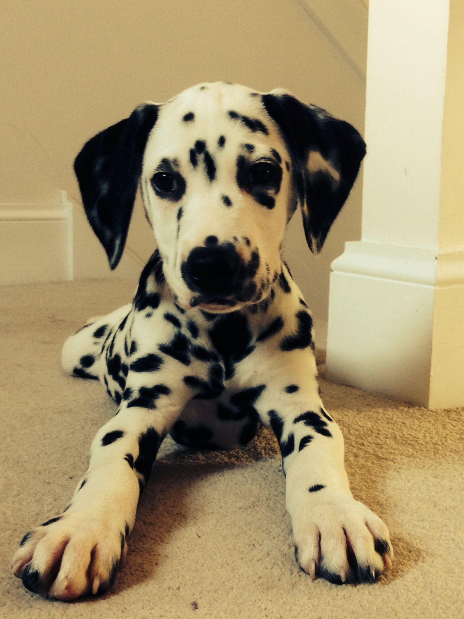 Dalmatian Pup Cute Dogs Dalmatian Puppy Cute Animals