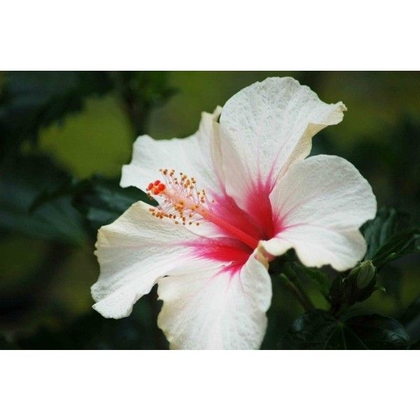 Hibiscus Flower White Color Flower Meanings Pictures And Photos Hibiscus Flowers Hibiscus Plant White Hibiscus