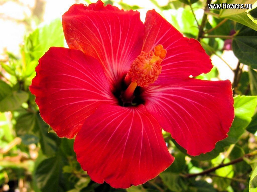 Hibiscus Images Pictures Of Red Maroon Hibiscus Flowers With