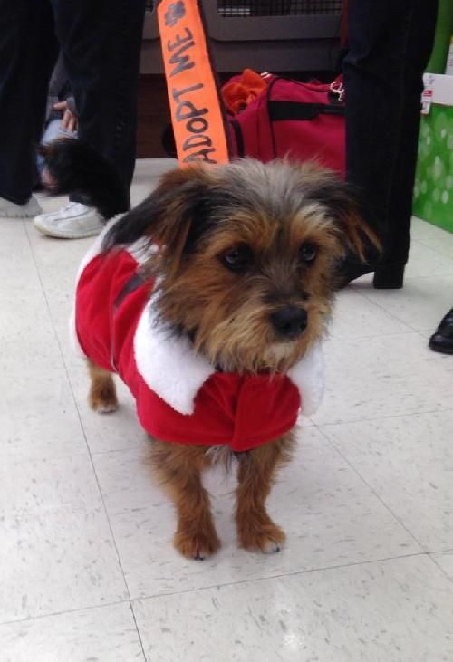 Bella Is A Female Yorkie Corgi Mix That Weighs About 10 Lbs And