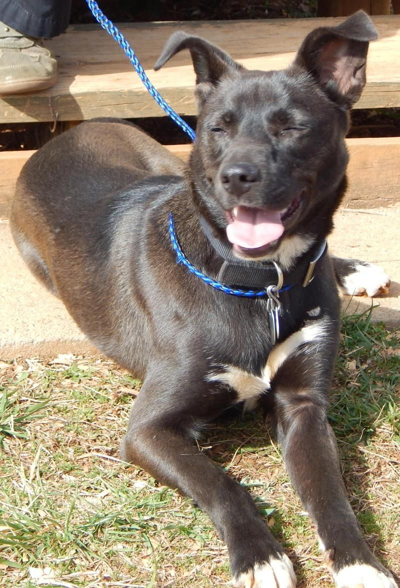 Adopt Buck 40 Lbs I D Make A Great Therapy Dog On Petfinder Therapy Dogs Dogs Black Labrador Retriever