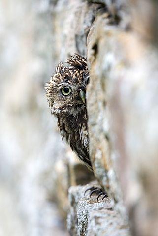 Little owl (Athene noctua) perched in stone barn, captive, United Kingdom, Europe - 743-1306