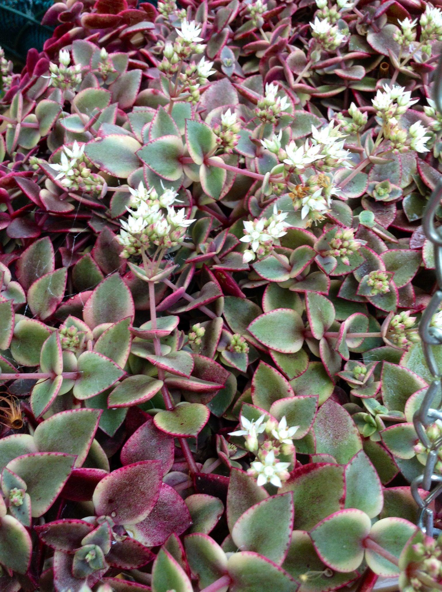 Crassula Pellucida Subsp Marginalis Variegata In Flower Succulents Cacti And Succulents Planting Succulents