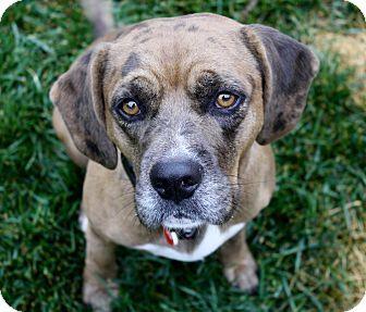 11 4 16 Beagle Catahoula Leopard Dog Mix Dog For Adoption In Los