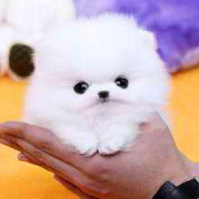 Pom Too Cute Maltese Puppies