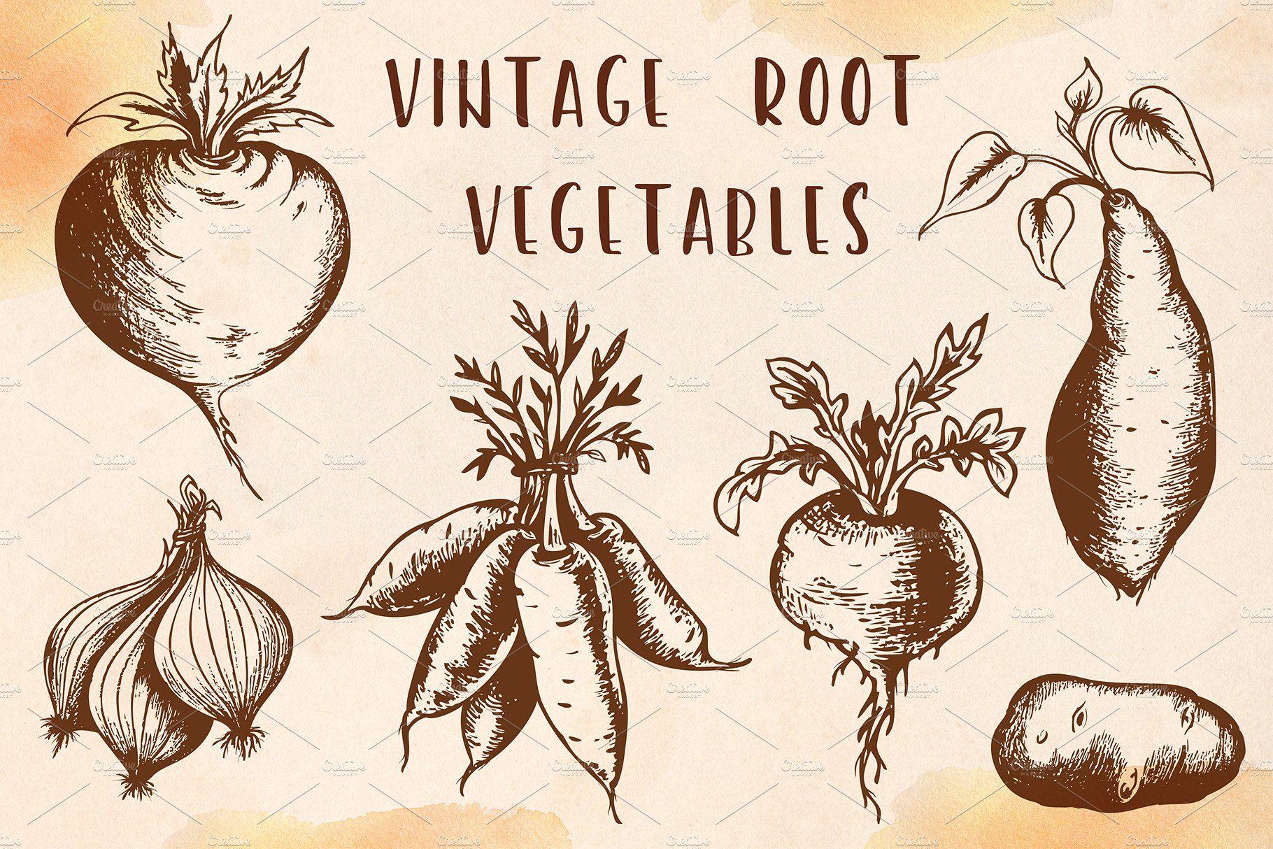 Vintage Vector Vegetables Roots Illustration Vegetable Illustration Vintage