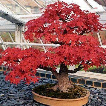 10 Anese Maple Tree Acer Palmatum Seeds