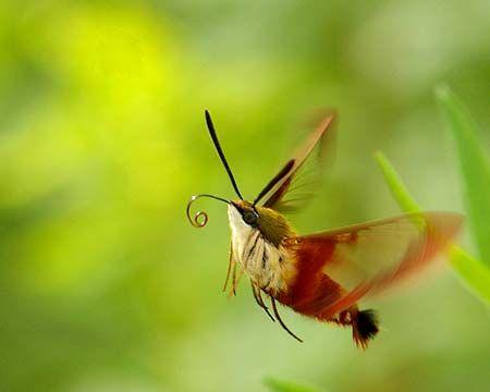 Image result for hummingbird moth caterpillar