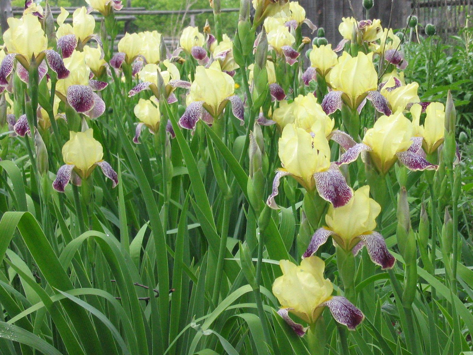 Iris flower 3172 widescreen i flowers pinterest iris flower 3172 widescreen dhlflorist Image collections
