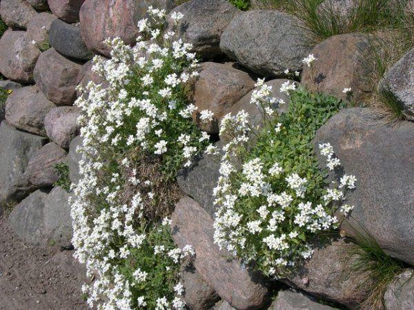 steingarten pflanzen arabis caucasica-vertikale begrünung, Terrassen ideen
