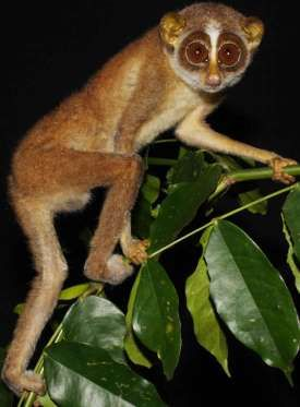 Sri Lanka Rare Primate Ap Photo Dulan Vidanapathirana Unusual