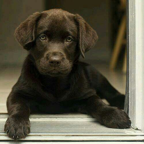 Pin By Missy Lacour On Finn Delta Chocolate Lab Puppies Lab