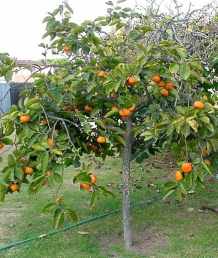 Fuyu Persimmon Persimmon Fruit Tree Fuyu Persimmon Tree Trees To Plant