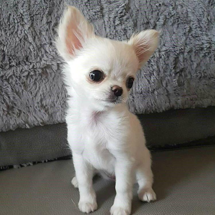 Pin Von Sylvia 64 Auf Schone Tiere In 2020 Hund Chihuahua