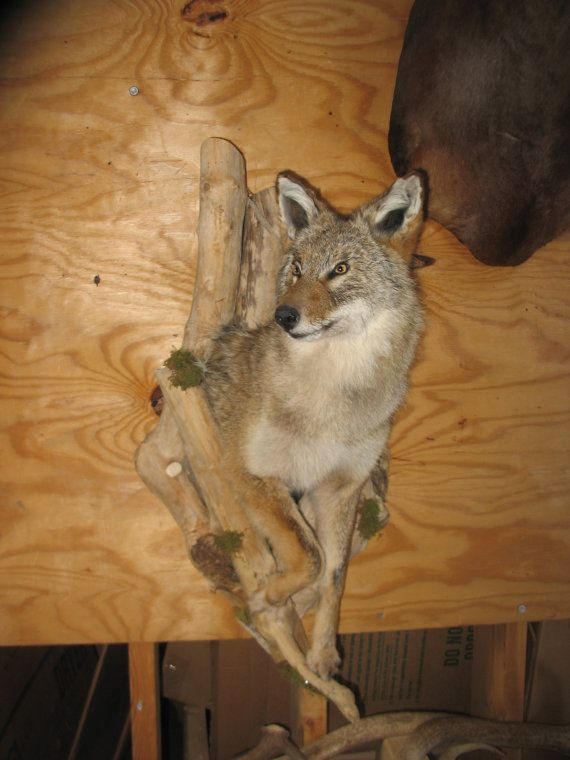 Taxidermy 1 2 Coyote Mount In Driftwood Cave New Rustic Log Home Decor Wall Mount Coyote Mounts Taxidermy Hunting Girls