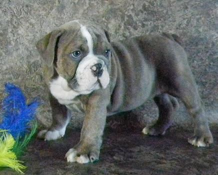 English Bulldog Puppies Thick Wrinkled Akc Registered Available To
