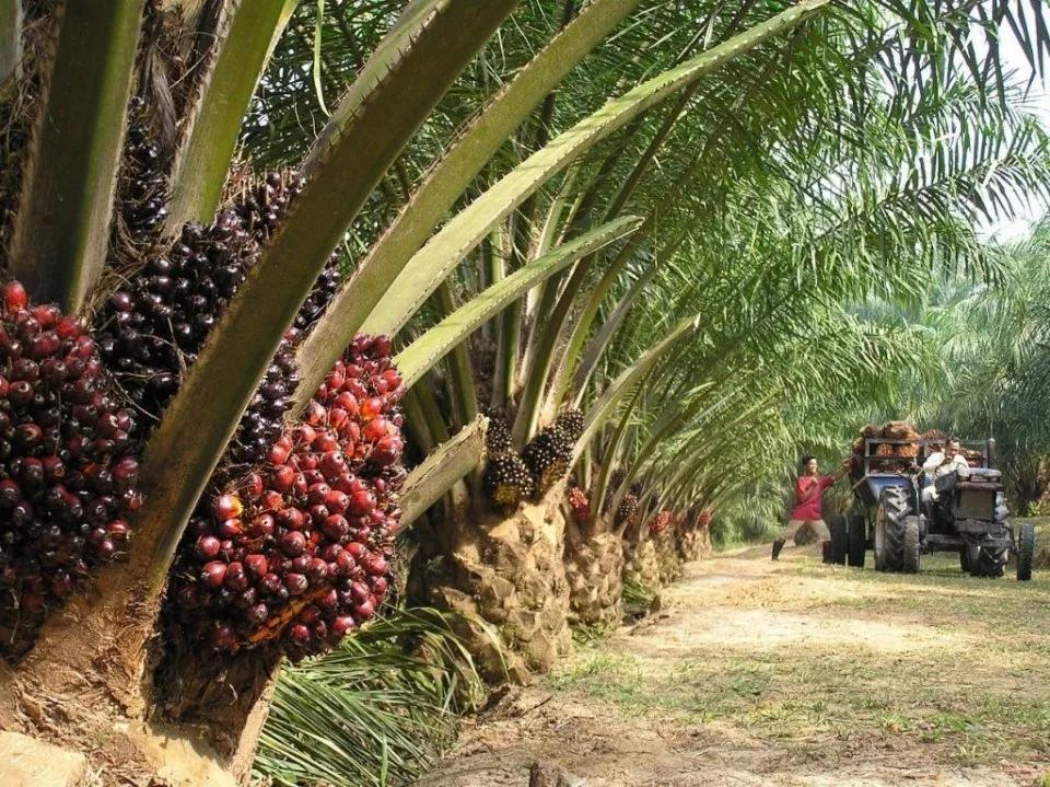 Kebun Pinang Terbesar Di Indonesia