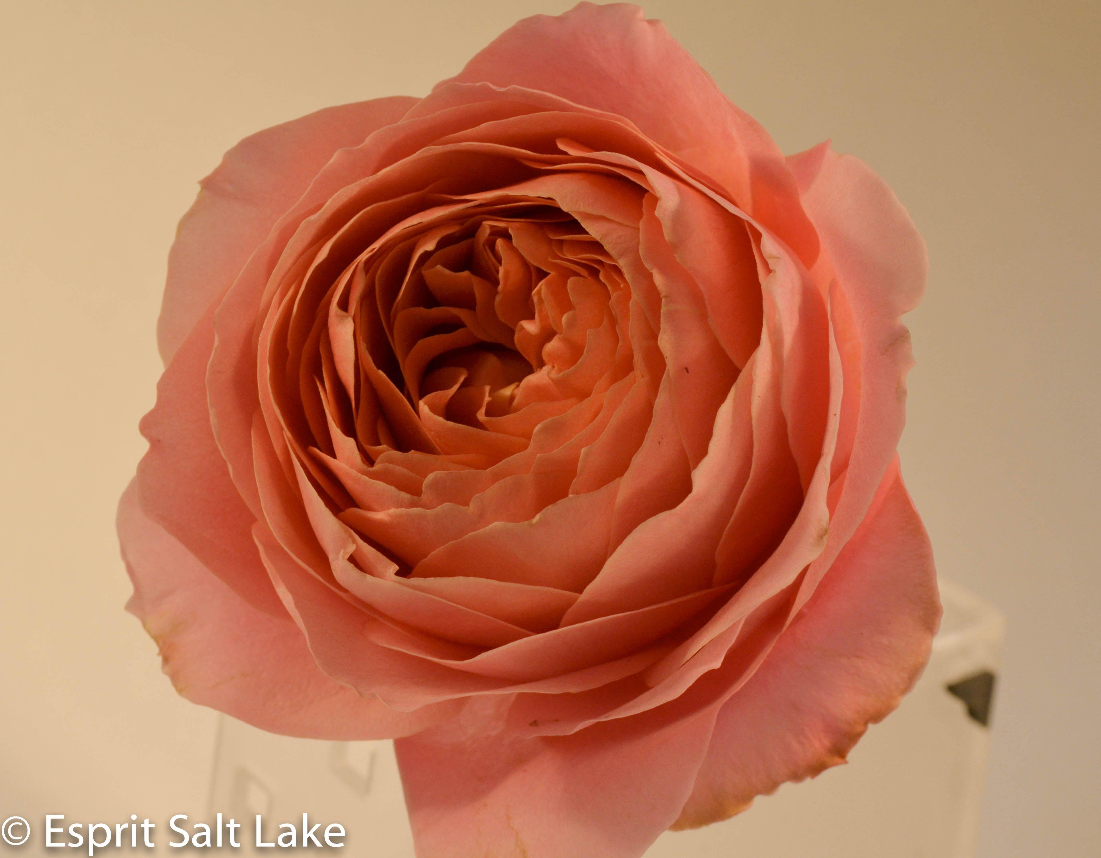 romantic antike coral garden rose