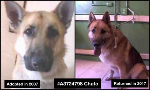 Owner Cried After Being Evicted From Home And Forced To Surrender Shepherd Chato Dog Activities Animal Activism Animal Rescue