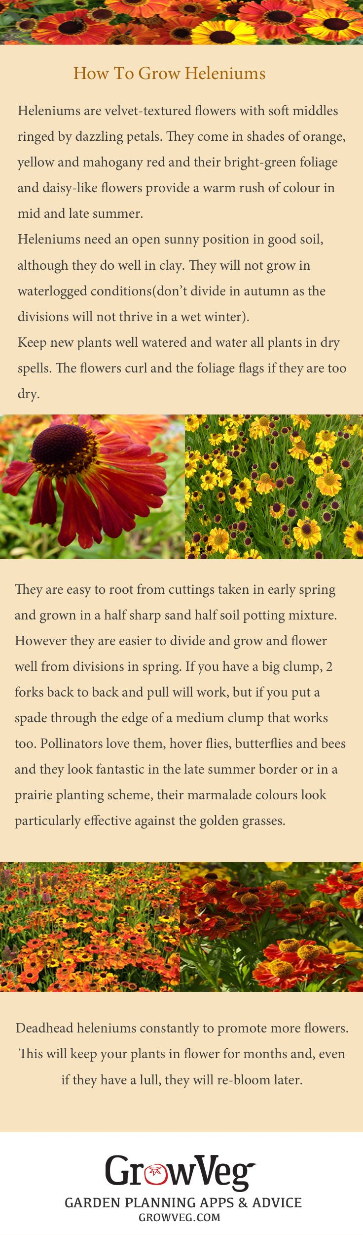 Gorgeous long lasting Heleniums easy to grow and beloved of