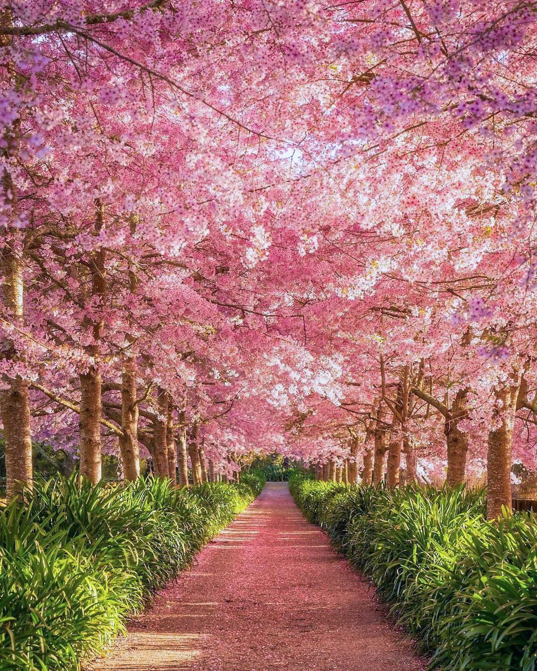 Cherry Blossoms New Zealand By Meghan Maloney Meghanmaloneyphotography On Instagram Spring Landscape Photography Beautiful Nature Landscape Photos