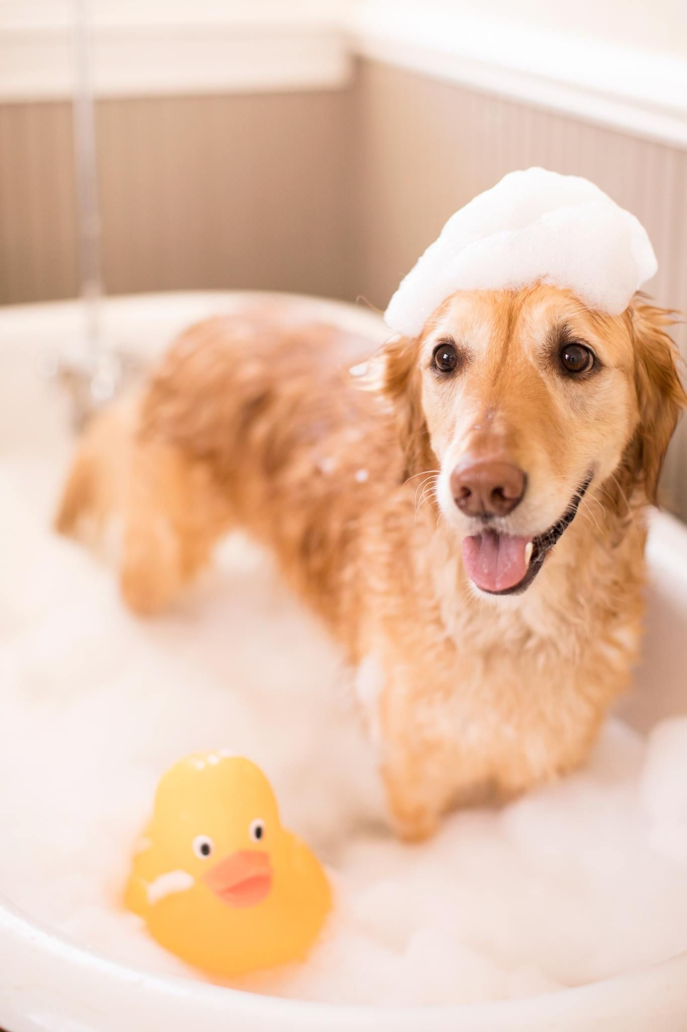 Golden Retriever taking a bubble bath National puppy day