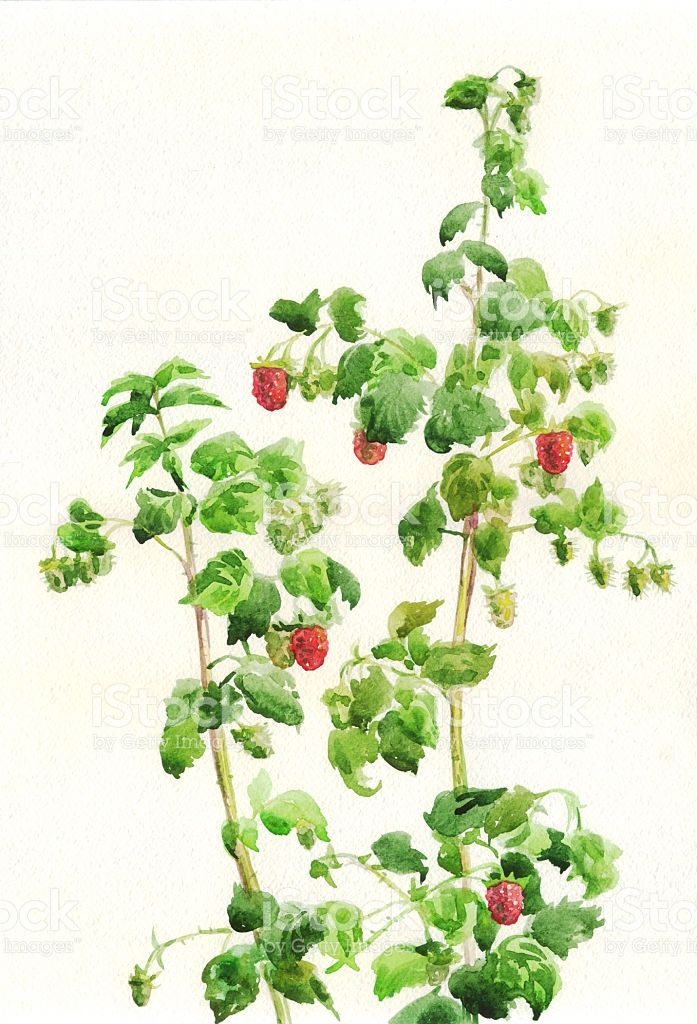 Image Result For Raspberry Bushes Painting Raspberry Bush