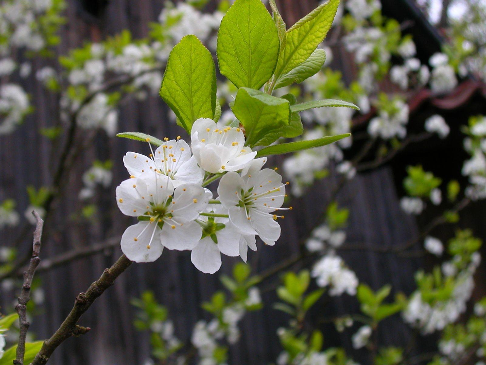 Fleur De Cerisier Blanche Google Search D Coration Mariage
