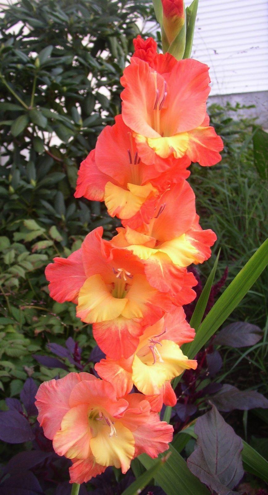 Gladiolus Apricot Dream Gladiolus Gladiolus Flower Pretty Flowers Gladiolus